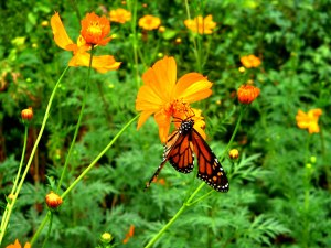butterfly-and-cosmos3